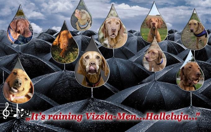 It's raining Vizsla-men