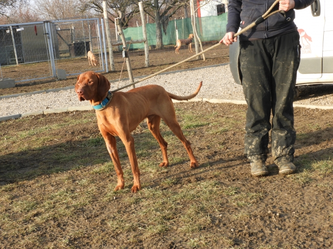 Beni - Vizsla in Not