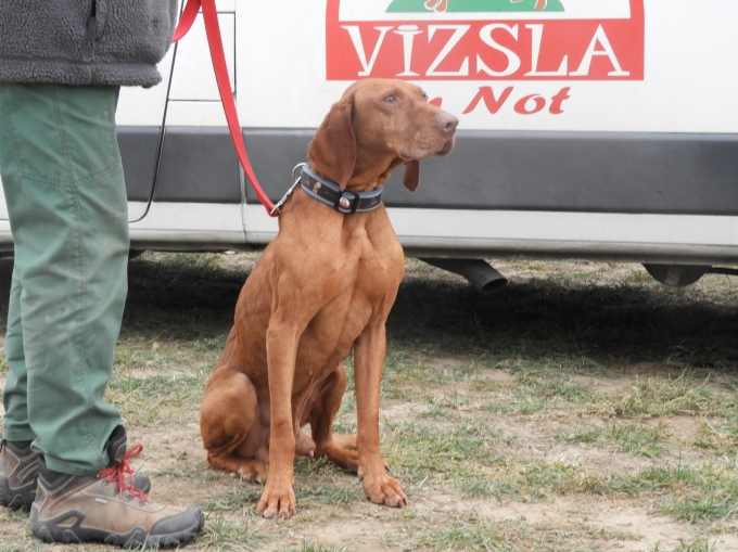 Teofil - Vizsla in Not