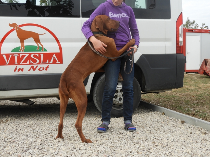 Miksa - Vizsla in Not