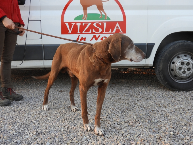 Vincent - Vizsla in Not