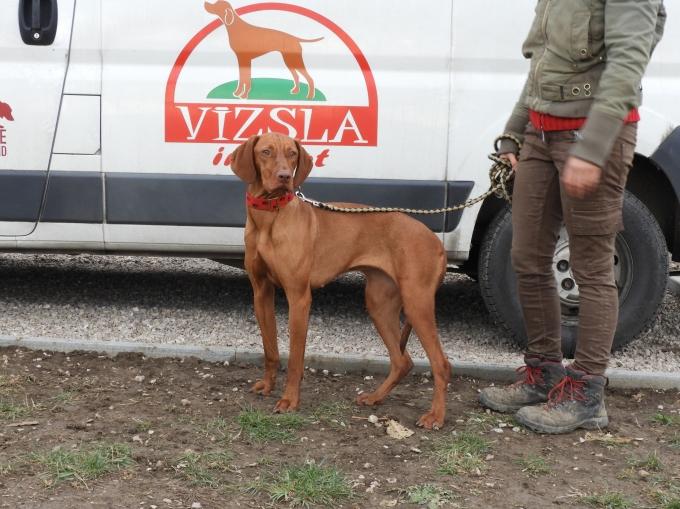 Bodza - Vizsla in Not