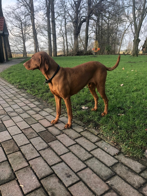 Pia - Vizsla in Not