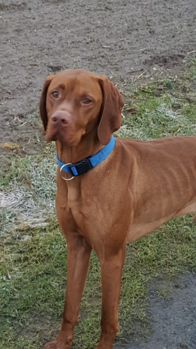 Pluto - Vizsla in Not